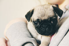 Cute little pug puppy. Shot of a cute little pug puppy Stock Images