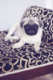 Cute little pug puppy vertical Royalty Free Stock Photos