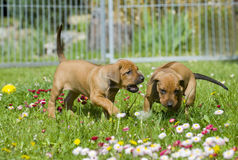 Cute little puppies playing royalty free stock images