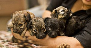 Cute little puppies Royalty Free Stock Photos