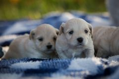 Cute little puppies sitting on a blue and white blanket. Outside in the grass on a fall day stock image