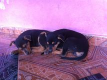 Cute little puppies sleeping together Royalty Free Stock Photography