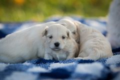 Cute little puppies snuggling on a blue and white blanket. Cute little tan puppies snuggling in a pile on a blue and white checkered blanket outside in the grass stock image
