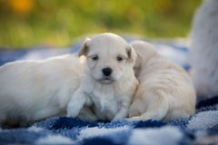 Cute little puppies snuggling on a blue and white blanket. Cute little puppies snuggling in a pile on a blue and white blanket in the grass on a fall day stock photo