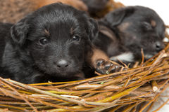 Cute little puppies in straw nest Royalty Free Stock Photo