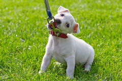 Cute little puppy. First time on the leash Stock Photography
