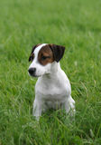 Cute little puppy. Jack russell terrier puppy waiting for his owner royalty free stock photos
