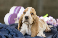 Cute little puppy Basset hound. Beautiful and gentle Basset hound puppy with sad eyes and very long ears sitting on a blanket. In the background there is a gift royalty free stock photography