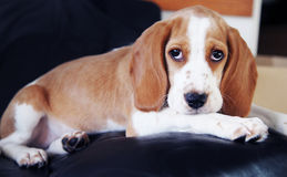 Cute little puppy beagle Stock Photography