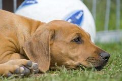 Cute little puppy boring Royalty Free Stock Photos