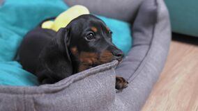 Cute little puppy dachshund gnawing its own soft nest lying down there. Destructive behavior from changing teeth or