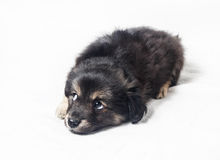 Cute little puppy dog Royalty Free Stock Photos