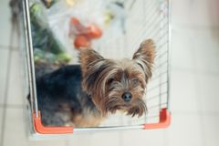Cute little puppy dog sitting in a shopping cart on blurred shop mall background with people. selective focus macro shot. With shallow DOF top view stock photos