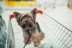 Cute little puppy dog sitting in a shopping cart on blurred shop mall background with people. selective focus macro shot. With shallow DOF top view royalty free stock images
