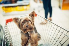 Cute little puppy dog sitting in a shopping cart on blurred shop mall background with people. selective focus macro shot. With shallow DOF top view royalty free stock photos