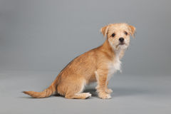 Cute little puppy Stock Photography
