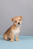 Cute little puppy Royalty Free Stock Image