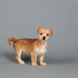Cute little puppy Royalty Free Stock Images
