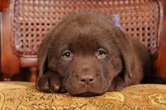 Cute little puppy of labrador retriever portrait Royalty Free Stock Photo