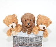 What Puppy?. Cute little puppy that looks just like the teddy bears in the basket with her, on a white background Stock Photos