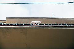 Cute little puppy looks out of balcony royalty free stock photo