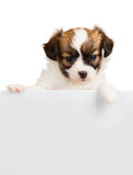 Cute little puppy Papillon leans on blank banner Royalty Free Stock Images