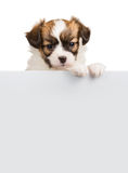 Cute little puppy Papillon leans on blank banner Stock Photo