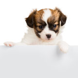 Cute little puppy Papillon leans on blank banner Stock Photos