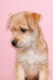 Cute little puppy Royalty Free Stock Photo