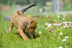 Cute little puppy playing with flowers Royalty Free Stock Image