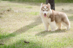 Cute little puppy playing in grass. Cute little puppy playing in green grass Stock Images