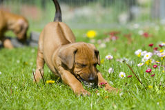 Cute little puppy playing in grass Royalty Free Stock Images