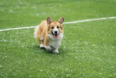 Cute little puppy red dog breed Corgi fun running around the green football field on the Playground on the streets in the city for. Cute puppy red dog breed royalty free stock photography