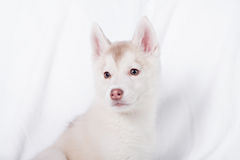 Cute little puppy sit on white background Royalty Free Stock Photography