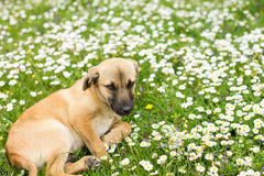 Cute Little Puppy Spring Enjoying. Cute Little Puppy lying on green grass and daisies at beautiful spring day royalty free stock photography