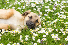 Cute Little Puppy Spring Enjoying. Cute Little Puppy lying on green grass and daisies at beautiful spring day royalty free stock images