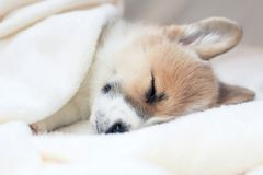 Cute little puppy sweetly sleeping in a white bed under a blank stock image