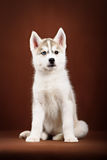 Cute little puppy of syberian husky Stock Images