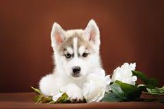 Cute little puppy of syberian husky. In dark studio royalty free stock image