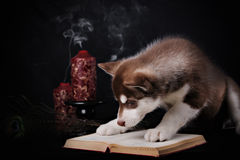 Cute little puppy of syberian husky Royalty Free Stock Images