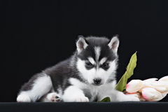 Cute little puppy of syberian husky Royalty Free Stock Photography