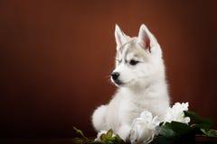 Cute little puppy of syberian husky Stock Photo
