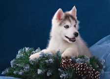 Cute little puppy of syberian husky Stock Image