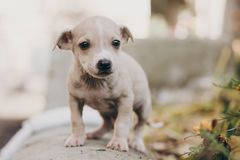 Cute little puppy walking in autumn park. Scared homeless staff terrier beige puppy playing in city street. Adoption concept. Dog