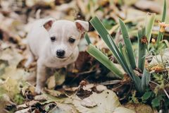 Cute little puppy walking in autumn park. Scared homeless staff terrier beige puppy playing in city street. Adoption concept. Dog stock image
