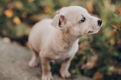 Cute little puppy walking in autumn park. Scared homeless staff terrier beige puppy playing in city street. Adoption concept. Dog royalty free stock photography