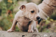 Cute little puppy walking in autumn park. Scared homeless staff terrier beige puppy playing in city street. Adoption concept. Dog royalty free stock images