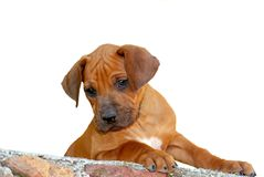Cute little puppy on white Royalty Free Stock Image