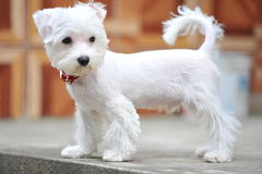 Cute little puppy and white Stock Images