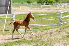 Cute little purebred foal playing at farm. Scenic rural landscape stock photos
